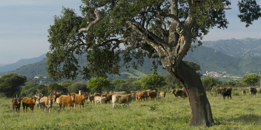 Bestiame al pascolo